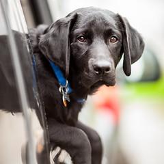 Bucky (Thomas Hawk) Tags: california usa dog puppy unitedstates fav50 unitedstatesofamerica fresno blacklab bucky blacklabrador fav10 fav25 fav100