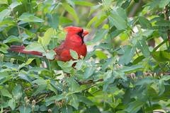 DSC_8820.jpg (Anne Beverley Photography) Tags: backyard cardinal sprinkler annebeverleyphotography