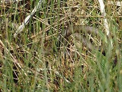 Grass Snake (ukstormchaser (A.k.a The Bug Whisperer)) Tags: morning sunlight macro grass animal animals reeds pond reptile snake wildlife may milton keynes snakes reptiles basking natrix