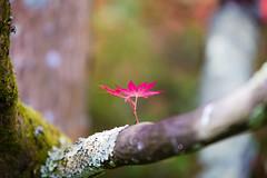Vivid Shoot (Tony McD) Tags: pink tree gardens wales nikon shoot branch purple sigma nikkor nationaltrust 70200 llandudno bodnant ois d610