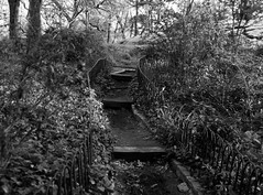 Step Lively (Explore, May 24) (Mildred Alpern) Tags: bird monochrome leaves outdoors blackwhite path bricks steps railing bushes