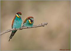 Gruccione / Merops apiaster (brunofurlan) Tags: