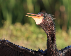 Anhinga Portrait (Bill McBride Photography) Tags: anhinga anhingaanhinga bird avian nature wildlife spring may 2016 ritchgrissommemorial wetlands viera melbourne fl florida portrait canon eos 70d ef100400l