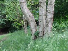 Silver Birch (ART NAHPRO) Tags: wood trees summer june silver sussex birch 2016