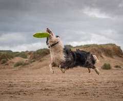Frisby 4 (Chris Willis 10) Tags: dog game beach collie play border will frisky crosby