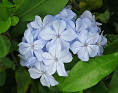 Pastel Blue! ('cosmicgirl1960' NEW CANON CAMERA) Tags: flowers blue green nature gardens spain parks espana costadelsol andalusia puertobanus marbella yabbadabbadoo worldflowers
