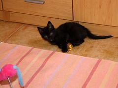 Gata Pucca (21) (adopcionesfelinasvalencia) Tags: gata pucca