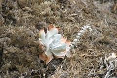 (joedecruyenaere) Tags: santamonicamountains crassulaceae losangelescounty dudleya dudleyapulverulenta