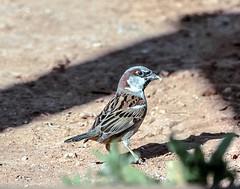 IMG_3815 (ibzsierra) Tags: parque bird canon natural salinas ibiza ave 7d pajaro eivissa oiseau baleares gorrion 100400isusm