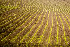 curves (Fotos aus OWL) Tags: landwirtschaft mais biogas
