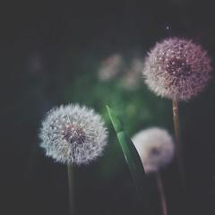 Wishing - Oud Kerkhof Roeselare (heidikesteloot) Tags: nature wish blowflower mextures
