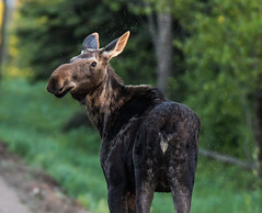 Sawbill Cow Moose (TofteTom) Tags: nature minnesota wildlife moose northshore northwoods wildlifephotography alcesalces minnesotamoose