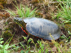 IMG_3635Cr turtle (jgagnon63@yahoo.com) Tags: animal spring turtle reptile michigan may wildanimal upperpeninsula uppermichigan dickinsoncounty stateforest coppercountrystateforest canonsx40