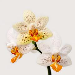 2016-04-10 Phalaenopsis Mini Mark (CatherineByTheSea) Tags: flower macro orchids phalaenopsis phalminimark