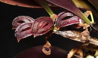 Round underside zootrophion orchid (Zootrophion hypodiscus) flowers