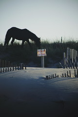 OBX (nateblais) Tags: horse beach animal wildlife dunes silhouettes northcarolina wildhorses vsco