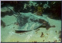 271104  Eagle Ray Long Bay (LoxPix2) Tags: loxpix australia underwater fish fiji vanuatu shark noumea cairns ascidian sponge