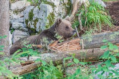 Brown bear 9 - Slovenia (Sinar84 - www.captures.ch) Tags: 2016 animal bear black blue brown brownbear cliff europa juni karst kocevska notranjska notranjskaregionalpark orange red rock slovenia slovenianbearscom summer trees white