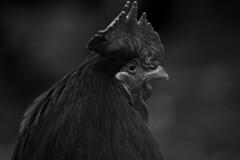 (Weche Peumafe) Tags: patagonia blanco gallo sony negro campo sur alpha a77ii