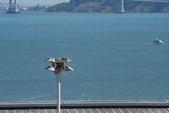Pier 80 Osprey Update 6-2016 (daver6sf@yahoo.com) Tags: bird baybridge sanfranciscobay osprey portofsanfrancisco