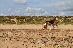 Beachcomber beagle (frankshepherd2) Tags: canon animal pet sand shore beach dog beagle coast sea seaside frankshepherd walking vacation walk summer