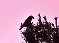 Crossbill Silhouette..x (lisa@lethen) Tags: bird nature pine cone wildlife crossbill
