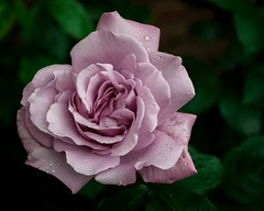 Rose (Peter Bennett Photography) Tags: plant flower nature rose purple gardening valentine bloom valentinesday blooming scented bluemoonrose february14th