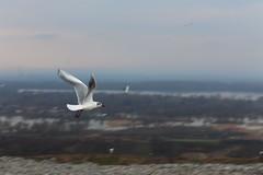 IMG_0223 (leka202) Tags: gull birds deponija vinca dumpstery garbage garbagge animals nature fighting amzing