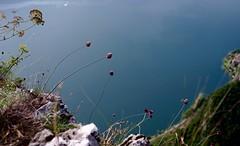 FLORA REACHING TO THE SUN @ MOUNTE SAN SALVATORE (eefzed) Tags: flowrrs flora mountesansalvatore lagodilugano lugano carl zeiss contax 3514 contaxcy3514 cy carlzeiss contaxcydistagon3514 distagon3514cy distagon3514 distagon bokeh nature macro distagon1435 blossom mediterraneanflower mediterraneanflowers mediterraneanflora alpineflower alpineflora mmg