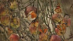 Robin (brian_stoddart) Tags: painterly texture robin animals wildlife fineart butterflies apples