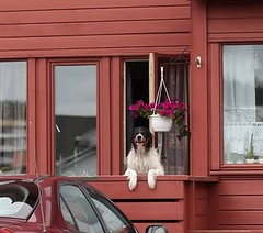 doggy (ChCoeur) Tags: dog pet smile notice norwegian doggy household grumpy windowsill flowerpower liebling grumpydog