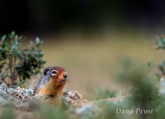 16_Jul_24_01 (Dana Prost) Tags: jaspernationalpark rockymountains albertacanada ground squirel