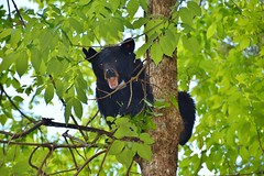 Up a tree...mother Black Bear (stevelamb007) Tags: tennessee greatsmokymountainsnationalpark gatlinburg bear blackbear stevelamb nikon d7200 nikkor18200mm nikkor natur nature
