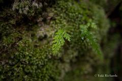 Juicy Green of Chichijima (yukirichards) Tags: ogasawara chichijima tokyo island unesco worldnaturalheritage nikon d610 viewpoint boninislands anijima summer vacation hike hiking trail green rain squall moos raindrops nature