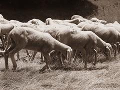 Sheep (_BiBi96_) Tags: sheep animals blackandwhite landscape nature seppia flock