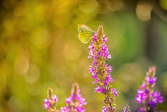 Kohlweiling (s.lang534) Tags: kohlweisling schmetterling butterfly summer sommer sommerwiese wiese insekt licht sonnenlicht sunlight sunset bokeh green yellow purple country august flower blume plant pflanze natur nature