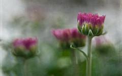 Mum's the Word (Anne Worner) Tags: chrysanthemum pink fuchsia lensbaby sweet35 layers texture ononesoftware anneworner shallowdeptoffield selectivefocus manuallens