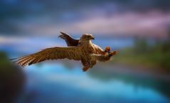 Hawk in flight (Delbrücker) Tags: hawk falke bird vogel animal tier outdoor nikond610 nikkor 70200mm 28 nature natur