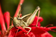 Grasshopper eating my beebalm  Sauterelle qui mange ma monarde (Chizuka2010) Tags: bokeh grasshopper insect macro macrophotography luciegagnon teeth sauterelle insecteating