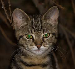 Ol' green eyes (ArtGordon1) Tags: cat feline animal london england walthamstow davegordon davidgordon daveartgordon davidagordon daveagordon artgordon1