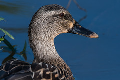 Duck (VisualUniverse) Tags: hurst texas unitedstates us duck bird nikond500 nikon500mmf4efledvr nikontc14eiii