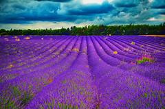 Lavender (WorcesterKevin) Tags: lavender snowshilllavender