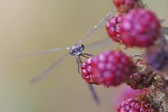 Berry Viewpoint (Hugobian) Tags: hertford heath nature reserve hmwt insect macro wildlife flora fauna pentax k1 emerald damselfly