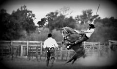 Boleando de prancha (Eduardo Amorim) Tags: gacho gachos gaucho gauchos cavalos caballos horses chevaux cavalli pferde caballo horse cheval cavallo pferd crioulo criollo crioulos criollos cavalocrioulo cavaloscrioulos caballocriollo caballoscriollos pampa campanha fronteira bag riograndedosul brsil brasil sudamrica sdamerika suramrica amricadosul southamerica amriquedusud americameridionale amricadelsur americadelsud cavalo         hst hest hevonen  brazil eduardoamorim gineteada jineteada