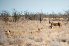 DSC_3949.JPG (manuel.schellenberg) Tags: namibia animal etosha nationalpark lion
