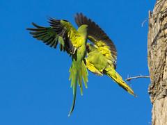 (Adisla) Tags: olympus em1 mzuiko 40150mm f28 ave volar cotorra kramer collar