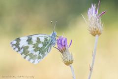 Pontia Edusa (Samuele81) Tags: macro macrofotografia natura ngc nikon nature ncg pontia farfalla butterfly edusa bellezza 90mm tamron