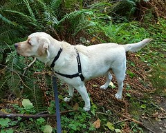 Gracie exploring the woods (walneylad) Tags: gracie dog canine pet puppy lab labrador labradorretriever cute september fall autumn