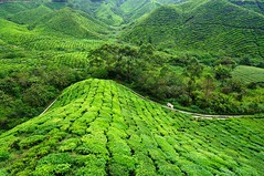 Sungei Palas Tea Plantation, Cameron Highlands, Malaysia (singaporebugtracker) Tags: cameronhighlands ddt camelliasinensis teaplants greencarpet bohtea pahangmalaysia sungeipalasteaplantation singaporebugtracker bohplantationa