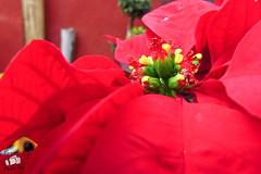 Noche buena (rvm2616) Tags: christmas flowers plants flores flower planta garden navidad flora flor jardin flour jardines nochebuena